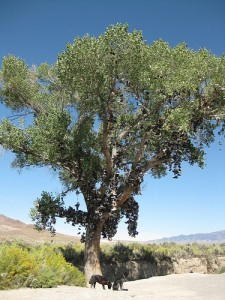 Shoe Tree: Middlegate, Nevada